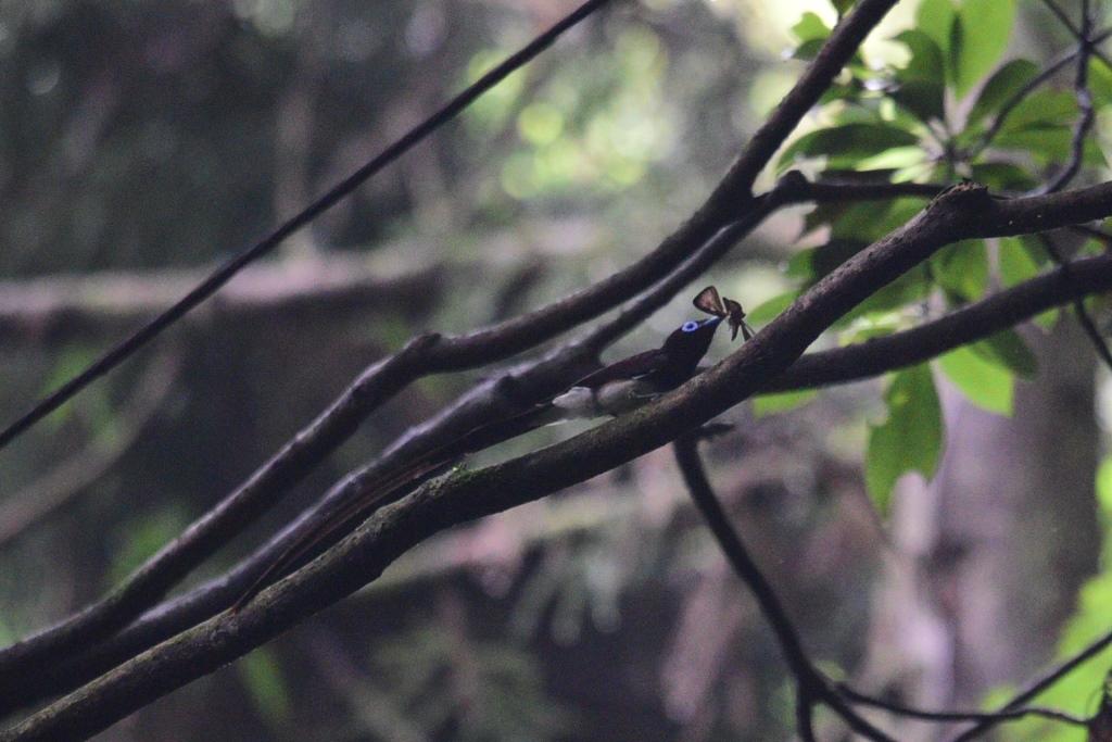 サンコウチョウ2